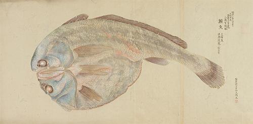 乾魚(博物館写生図より) 中島仰山筆 明治13年(1880)