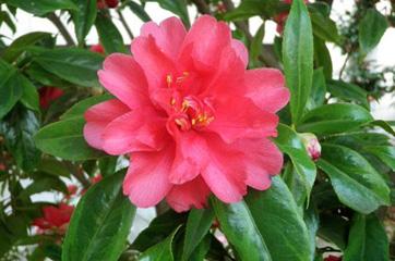 八重咲きのフクリンイッキュウ