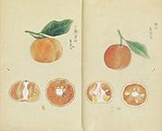Album of Citrus Fruits