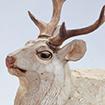 4.夏毛の白鹿